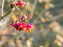 Colourful bunch of fruit of European spindle, Euonymus europaeus, in autumn, Netherlands. Colourful bunch of fruits of European spindletree, Euonymus europaeus royalty free stock images