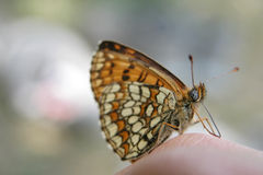 A colourful butterfly. On a finger stock photo