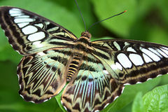 Colourful Butterfly. A colourful butterfly sitting on a leaf Royalty Free Stock Photos