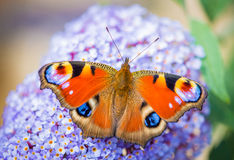 Colourful butterfly. Colourful European Peacock butterfly on purple flower Royalty Free Stock Image