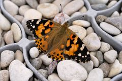 Colourful butterfly painted lady on the stones. Vanessa cardui, upperside royalty free stock image