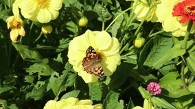 Colourful butterfly of Painted lady Vanessa cardui and  Hoverflies flower flies, syrphid flies stock video footage