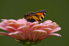 Colourful butterfly on pink flower Stock Photo