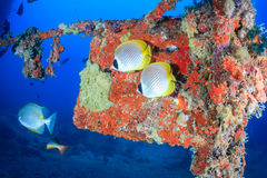 Colourful butterflyfish on a wreck Royalty Free Stock Photography