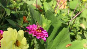 Colourful butterflys of Painted lady Vanessa cardui and  European Peacock Aglais io flower of Zinnia stock video