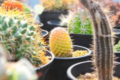 Colourful Cactus for gardening. Yellow cactus. A cactus plural: cacti, cactuses, or cactus[3] is a member of the plant family Cactacea. Cactus spines are royalty free stock photography
