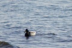 A colourful Canadian duck stock photos