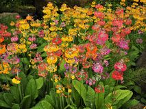 Colourful candelabra primulas flowering in a garden. Colourful candelabra primula plants flowering profusely in a garden in summer stock photography