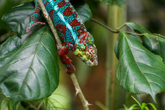 A colourful chameleon climbing a stick. The chameleon's body in full colour. Surrounded by leaves Stock Image