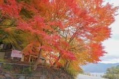 the colourful changing colour trees in autumn around Fuji Mountain at Lake Kawaguchiko, Japan stock photos