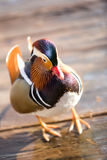 Colourful Chinese Duck Stock Photography