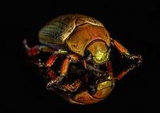 Colourful Christmas beetle Stock Photo