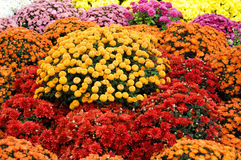 Colourful chrysanthemum Stock Photography