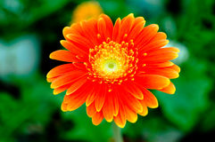 Colourful Chrysanthemum. Close up of colourful chrysanthemum Royalty Free Stock Photo
