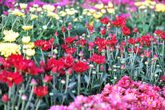Colourful chrysanthemum flowerbed Stock Photos