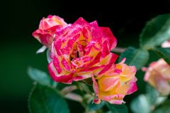 Colourful close up of several little sunset climber rose heads royalty free stock photos