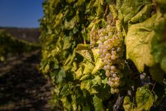 Cluster of botrytised Furmint grapes royalty free stock image