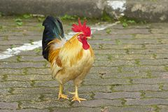 Colourful. Cock, rooster in Thailand stock image
