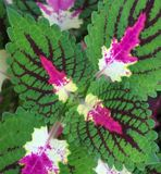 Colourful coleus zdjęcia stock
