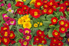 A Colourful Collection of Primula Plants Royalty Free Stock Photo