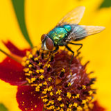 Colourful Companions. A green fly sits at the centre of a yellow wildflower royalty free stock photo