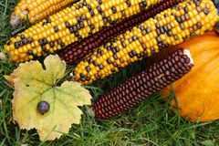 Colourful corn and pumpkin Stock Image