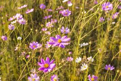 Colourful cosmos flowers Stock Photo
