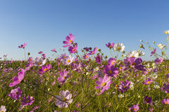 Colourful cosmos flowers Stock Image