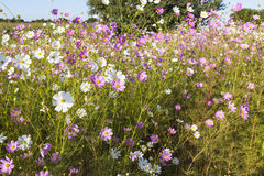 Colourful Cosmos flowers Royalty Free Stock Photo