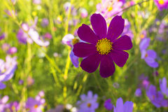 Colourful cosmos flowers Stock Images