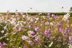 Colourful cosmos flowers Royalty Free Stock Images