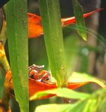 Colourful Costa Rican crab royalty free stock images