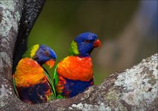 Colourful couple. On a tree two bright and colourful parrots, it is close and on a bright background Royalty Free Stock Image