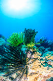 Colourful Crinoids on a coral reef. Colourful feather stats on a tropical coral reef royalty free stock images