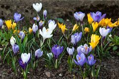 Colourful Crocuses stock images