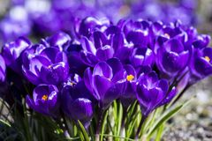 Colourful crocuses. A cluster of purple crocuses in a field, Butchart Gardens, Canada Stock Photo