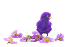 Colourful of Cute Chicks Royalty Free Stock Photography
