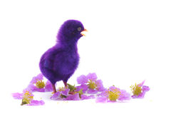 Colourful of Cute Chicks Royalty Free Stock Photo