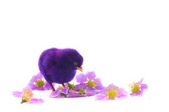 Colourful of Cute Chicks Stock Images