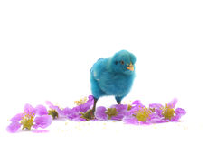 Colourful of Cute Chicks Royalty Free Stock Images