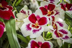 Colourful Cymbidium flower. Is a genus of 52 evergreen species in the orchid family royalty free stock photo