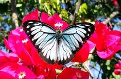Colourful Czarny i biały motyl Zdjęcia Royalty Free