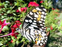 Colourful Czarny i biały motyl Obraz Stock