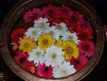 Daisies. Colourful daisies kept in water in a vessel Royalty Free Stock Photo