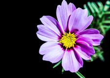 Colourful Darkness. A close-up of a small cosmos flower royalty free stock photo