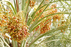 Colourful dates bunches Stock Photo