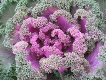 Colourful decorative cabbage Stock Photos