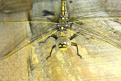 Colourful dragonfly Royalty Free Stock Images