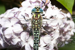 Colourful Dragonfly on lilac flower Royalty Free Stock Images