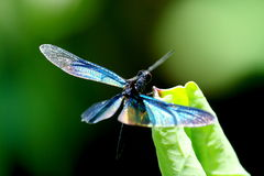 Colourful dragonfly on a lotus leaf Stock Photo